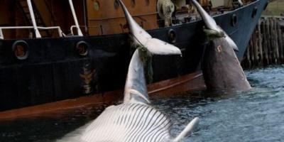 Fracasaron las negociaciones sobre la caza de ballenas
